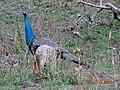 Peahen bird.jpg