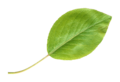 Pear LeafTransparent.png