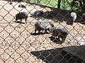 Pecari tajacu, Parque Zoológico de Sapucaia do Sul, Brazil.jpg