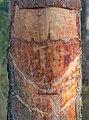 Pecherpfad near Hölles, Lower Austria, Austria-tree PNr°0665.jpg