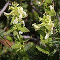 Pedicularis yezoensis (Mount Tsurugi).JPG