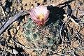 Pediocactus simpsonii fh 74 5 WY B.jpg