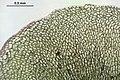 Pellia epiphylla (f, 145309-481417) 2478.JPG