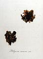 Peltigera canina — Flora Batava — Volume v8.jpg