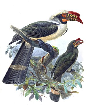 Luzon hornbill - Male (above) and female (below)