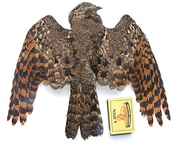 Pennant-winged Nightjar, female, Creighton.jpg