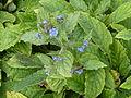 Pentaglottis sempervirens in Jardin des Plantes 02.JPG