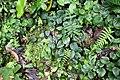 Peperomia sp. (Piperaceae) (30441170596).jpg