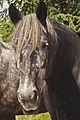 Percherons Elevage des Hayes de Barviile (Mr Jeauneau) CL J Weber37 (34) (23455156784).jpg