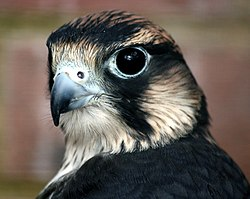 Peregrine Falcon head shot.jpg