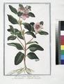 Pervinca vulgaris latifolia, flore roseo - Vinca-pervinca - Grande Pervenche. (Greater Periwinkle) (NYPL b14444147-1125025).tiff