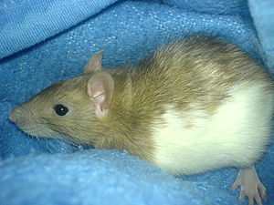 Full view of a young pet rat