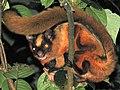 Petaurista nobilis 2.jpg