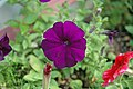 Petunia sp. 4 (49045474052).jpg