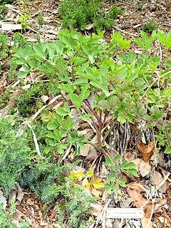 <i>Peucedanum japonicum</i>