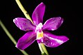 Phalaenopsis pulchra 'Oscar' (Rchb.f.) H.R.Sweet, Amer. Orchid Soc. Bull. 37- 1102 (1968) (35961916334).jpg