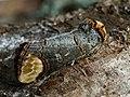 Phalera bucephala - Buff-tip - Лунка серебристая (26268234497).jpg