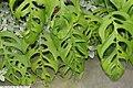 Philodendron grazielae 2zz.jpg