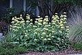 Phlomis russeliana IMG 0108.jpg
