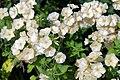 Phlox paniculata white cultivar ~ Sundial Garden, Hatfield House, Hertfordshire, England.jpg