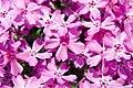 Phlox subulata Crimson Beauty 4zz.jpg