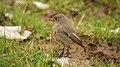 Phoenicurus ochruros -Dorset, England -female-8 (3).jpg
