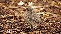 Phoenicurus ochruros -Dorset, England -female-8 (4).jpg