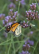 Photofarmer - Monarch and Bumblebee (by).jpg