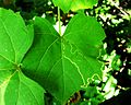 Phyllocnistis vitifoliella leafmine in Frost Grape (Vitis vulpina).jpg