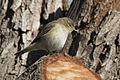 Phylloscopus trochilus - Willow Warbler, Adana 2017-01-15 01-2.jpg