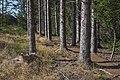 Picea abies trees, Fraisse-sur-Agout 02.jpg