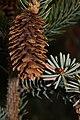 Picea sitchensis 5714.JPG