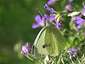 Pieris brassicae - Large white - Капустница (41133437292).jpg