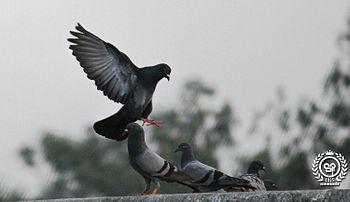 Pigeon India.jpg