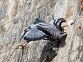 Pigeons Courting Ooty Mar21 A7C 00681.jpg