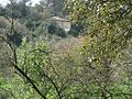 PikiWiki Israel 7359 oak tree in tivon.JPG