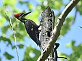 Pileated Woodpecker (34700270466).jpg