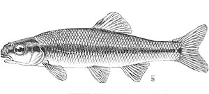 Bluntnose minnow - Image: Pimephales notatus