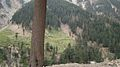 Pine trees at Lowari Pass,Chitral,KPK.jpg