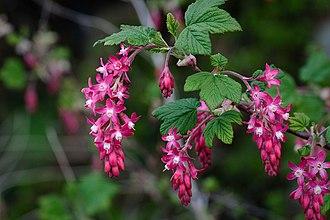 Ribes sanguineum - Image: Pink Flowering Currant closeup, Ribes sanguineum