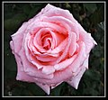 Pink Rose for a Blue Lady-2 (8550392665).jpg