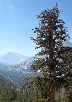 Foxtail Pine Pinus balfouriana subsp. austrina...