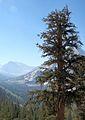 Pinus balfouriana Vidette Meadow.jpg