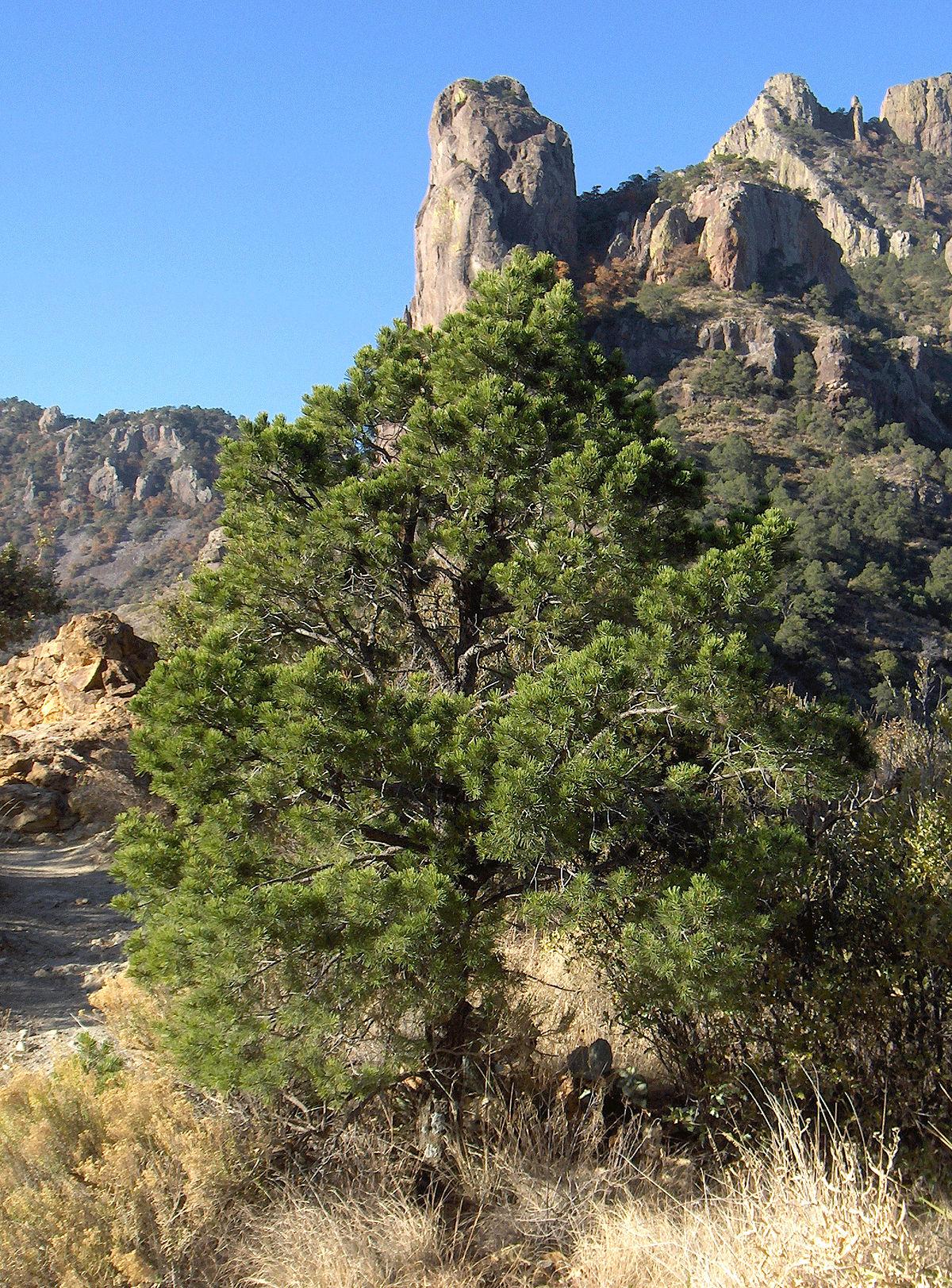 Pinus Cembroides Wikip 233 Dia