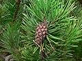 Pinus contorta 28289.JPG