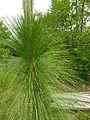 Pinus palustris - US Botanic Garden.jpg