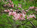 Pinxterbloom Azalea - Flickr - treegrow.jpg