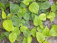 Piper betle plant.jpg