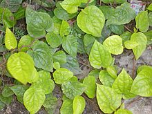 Piperbetle plant.jpg