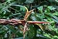 Pitcairnia arcuata (Bromeliaceae) (30171619722).jpg